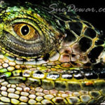 SueDewar_BeardedDragon_Nature_homepage
