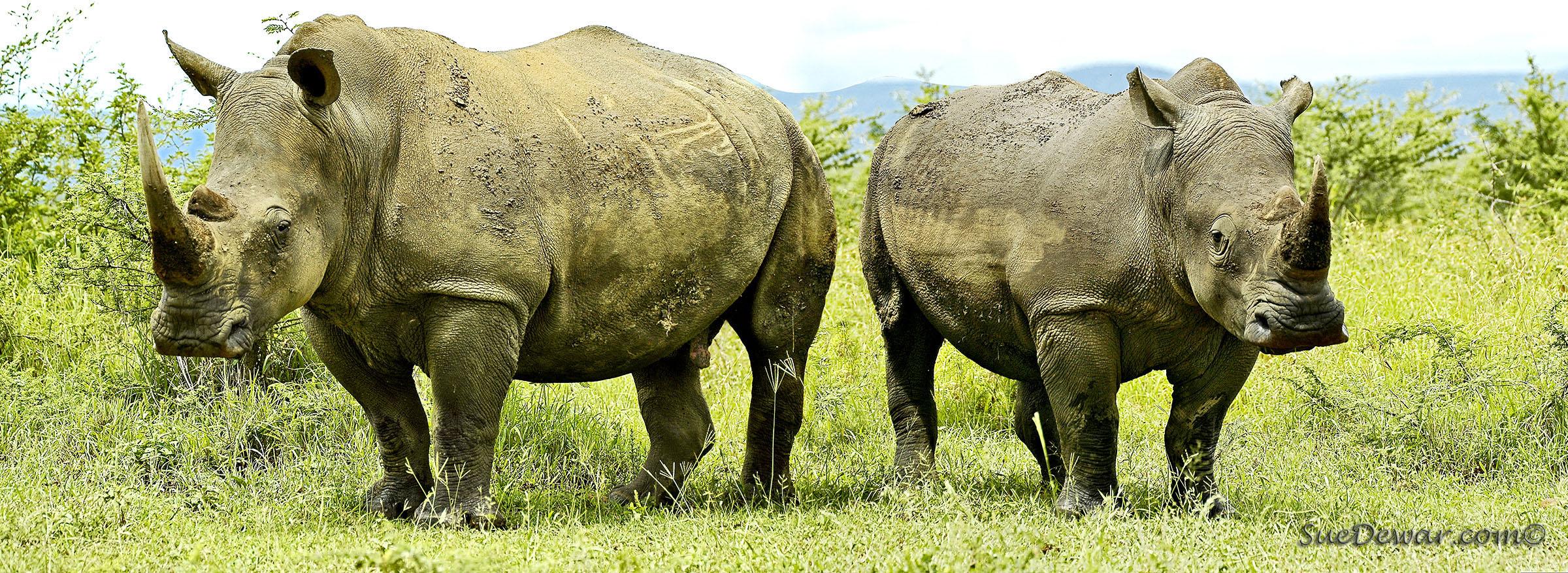 SueDewar_Rhino_Wildlife-web